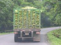 Exportam de doua ori mai multe banane decat morcovi si pepeni! VIDEO