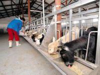 Cum si-a facut un veterinar o fabrica in apropriere de Cluj in care produce branza de capra in stil frantuzesc