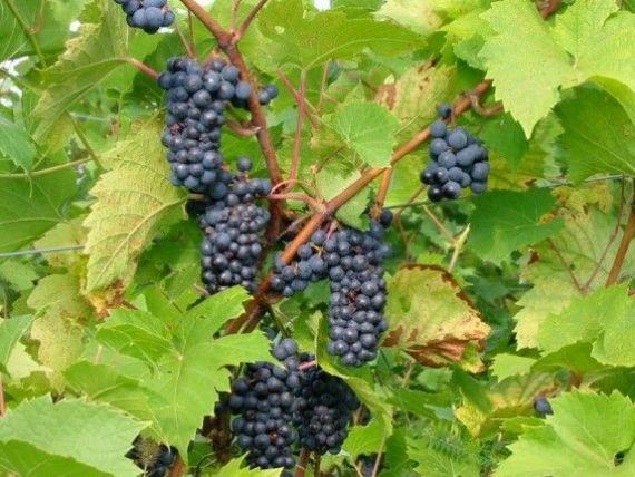Vinul romanesc, pe mesele americanilor. Cum fac afaceri impreuna 6 producatori de vin