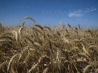 Caldura, dezastru pentru culturi. De ce s-ar putea scumpi cerealele VIDEO