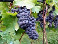 Strugurii lor pe pamantul nostru. Povestea frantuzoaicei care face vinuri de lux pe malul Marii Negre VIDEO
