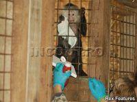 Cand arta devine profitabila. Maimuta-business isi foloseste membrele si coada pentru a crea picturi de 250 de lire sterline VIDEO