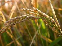 Stocurile de cereale din UE, aproape de minimul ultimilor 4 ani
