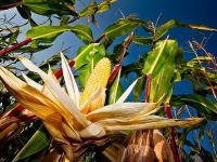 Peste 40% din productia de porumb, distrusa de seceta. Guvernul anunta subventii pentru energia necesara irigatiilor