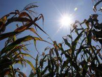 Preturile cerealelor explodeaza, din cauza secetei. Cotatia porumbului a urcat la un nivel record
