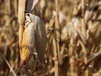 Dupa cel mai secetos an din ultima decada, Ministerul Agriculturii numara pagubele. Productia de porumb a scazut cu 60%