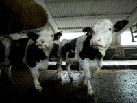 Noul Cod Fiscal introduce impozitarea micilor agricultori. Taranii vor plati pentru vacile si porcii din curte