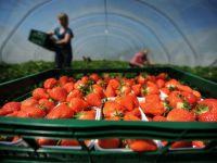 Ridicarea restrictiilor pentru romani si bulgari ii lasa pe britanici fara fructe. Explicatia fermierilor