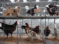 Aproape 40.000 de pasari contaminate cu Salmonella, descoperite la o ferma de pui