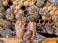 Studiu: Veninul albinelor ar putea preveni raspandirea HIV