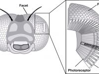 A fost creat primul ochi artificial cu fatete