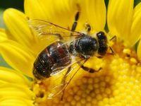 UE interzice utilizarea unui insecticid care omoara albinele. Romania a votat impotriva
