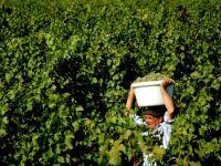 Mult e vinul ghiurghiuliu. Productia record de struguri din acest an va da licori bahice de calitate superioara