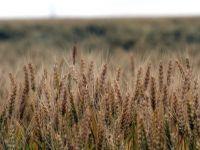 Blestemul pamantului. Desi fermierii au facut productie record de grau, preturile sunt atat de mici, incat nu-si scot nici investitia initiala