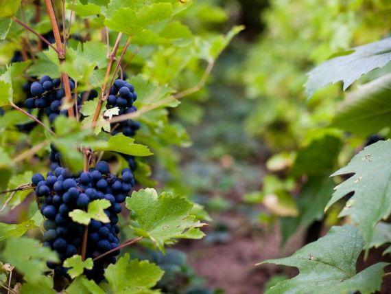 Strainii, tot mai interesati de turismul viticol de la noi