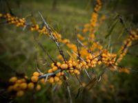 Planta castigatoare a acestui sezon: produce 24 de tone de fructe la hectar si poate aduce fermierilor un profit de 170.000 de euro pe an