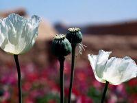 Esecul de miliarde dolari al SUA. Productia de opiu inregistreaza un nou record in Afganistan, inainte de retragerea trupelor NATO
