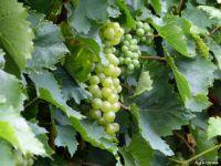 Productia de struguri, aproape dubla fata de 2014. Vom avea o cantitate mai mare de vin, iar calitatea licorii lui Bahus va fi superioara. Soiurile care au rezistat cel mai bine la seceta