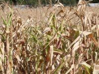 Seceta a lasat deja urme adanci in Romania. CE estimeaza scaderi medii de 5%, la principalele culturi de toamna, fata de anii trecuti