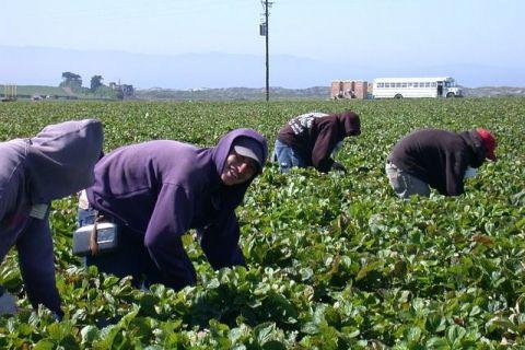 Sclavi pe plantațiile italienilor: sute de mii de lucrători africani, români și bulgari, exploatați, prost plătiți și agresați de  caporali