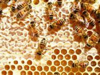 Afacerile cu miere au gust amar. Valoarea exporturilor a depasit 9 mil. euro, in T1, dar apicultorii sustin ca 2016 va fi dezatruos din cauza ploilor excesive