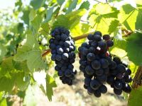Incalzirea globala schimba gustul vinului. Enologii din celebra regiune Champagne creeaza soiuri de struguri mai rezistente la caldura si boli
