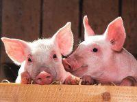 Coronavirusul ar putea genera și o penurie de alimente. Una dintre cele mai mari fabrici de carne de porc din SUA a fost închisă, după ce angajații s-au îmbolnăvit