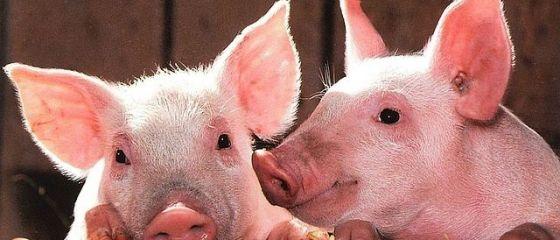 Ministrul Finanțelor îi avertizează pe agricultori:  Porcul se ţine în ogradă. Îl ţii în afara ogrăzii, riști! Pe viitor, îi vom mai despăgubi doar pe cei care respectă legea
