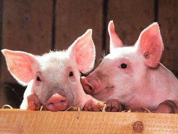 Rusia a introdus restricţii temporare pentru porcii vii şi pentru produsele de porc din România, din cauza pestei porcine