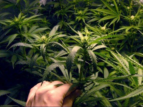 Tara din Europa care va cultiva marijuana, sub controlul statului. Ce face cu productia