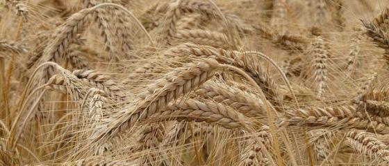Recolta agricolă record a României pleacă în Europa și în țările arabe. O treime din marfa care tranzitează portul Constanța sunt cereale