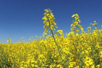 Cultura-minune. Tot mai mulți agricultori au dat grâul și porumbul pe rapiță și se pregătesc de profituri mari și în acest an