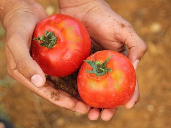 Daea:  Nu există supermarket fără roşii româneşti, avem producţie record.  Cât cântărește cea mai mare roșie descoperită într-o fermă din România