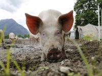 Criza pestei porcine ia amploare, deși sunt sacrificați sute de mii de porci. Noi focare apar zilnic
