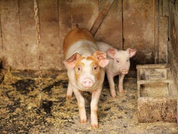 Boala mortală fără leac, ce amenință populația de porcine din întreaga lume. Pesta porcină din China se extinde în alte țări asiatice. În România, sunt afectate 200 de localități