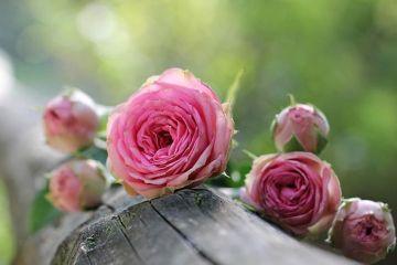 Pariu câștigat de cei care au mizat pe culturile de trandafiri. Cu cât vând un kg de petale