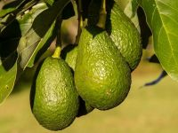 Fructul care se consumă în cantități record în Europa și SUA, de doi ani, și legătura cu cartelurile de droguri din Mexic