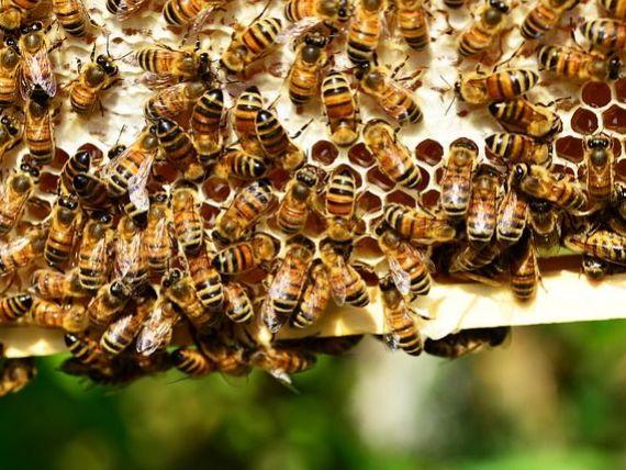 Plan european de salvare a albinelor. UE vrea mai multă transparență din partea statelor membre, în ceea ce priveşte folosirea pesticidelor