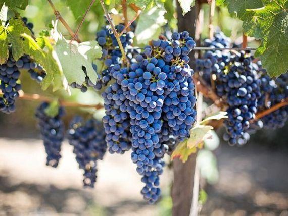 Regiunea în care se produc cele mai scumpe vinuri din lume, păzită zi și noapte de jandarmi. Cine fură strugurii din Burgundia