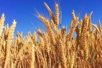 România suspendă exporturile de cereale și produse de panificație, pe fondul pandemiei