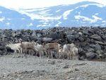 Primii pământeni care plătesc prețul încălzirii globale. Topirea ghețurilor pune în pericol viața unei comunități de crescători de reni din Mongolia