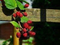 Capitala europeană care plantează pomi și arbuști fructiferi în oraș, pentru ca cetățenii să mănânce gratis fructe proaspete