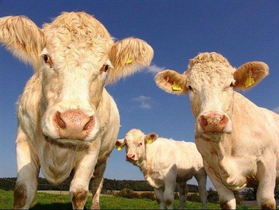 Un start-up olandez  cultivă  carne în laborator, care nu provine de la animale. Tehnologia se bazează pe o descoperire recompensată cu Nobel