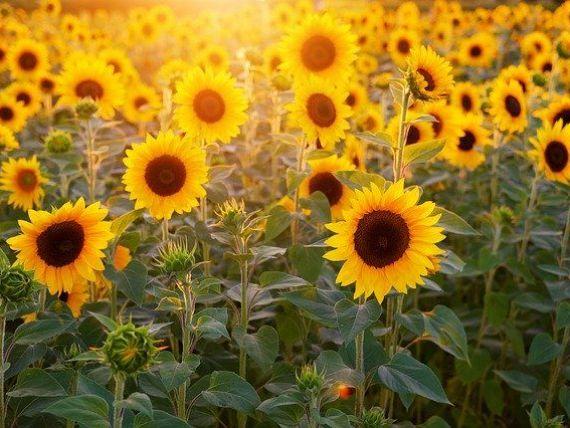 România a fost, în 2019, cel mai mare producător de porumb boabe şi de floarea soarelui din UE