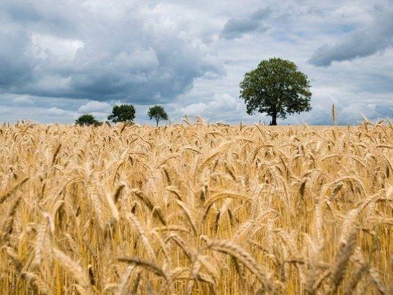 Prețul grâului ajunge la cel mai ridicat nivel din ultimii şase ani, după ce Rusia, principalul exportator mondial, a anunţat că majorează taxa pe exporturi
