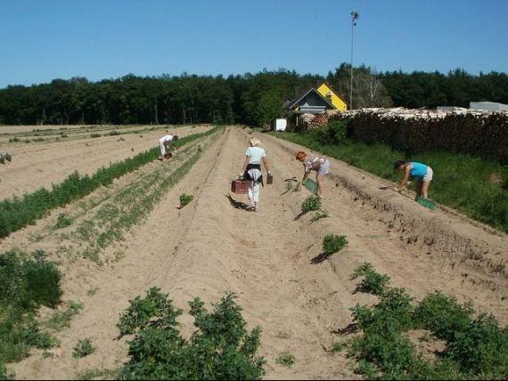 Europenii din Vest descoperă munca la câmp, după ce imigranții au fost goniți de coronavirus în țările de origine.  Este foarte greu în prima zi, apoi te obişnuieşti cu durerea