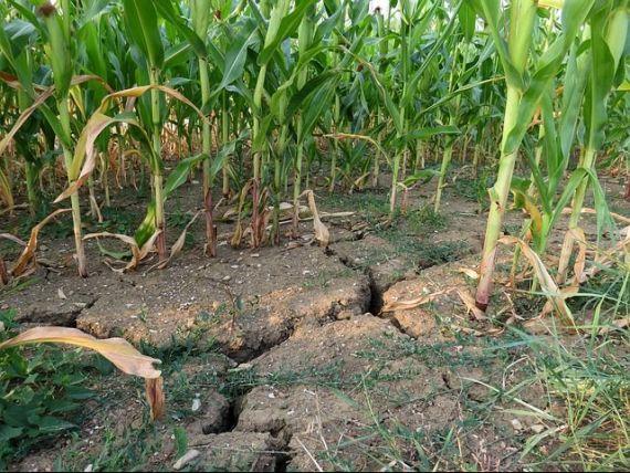 Cea mai gravă secetă din ultimul secol a distrus 1,6 milioane hectare de culturi agricole în România. Ce măsuri anunță ministrul Agriculturii