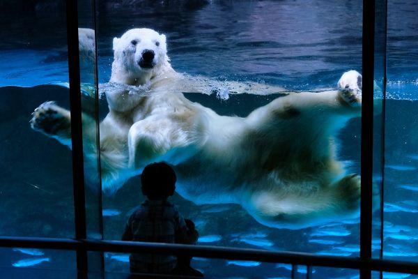 Un copil privește un urs polar în parcul acvatic Hakkeijima Sea Paradise din Yokohama. Parcurile și muzeele au fost deschise în Japonia, după ce au fost închise două luni din cauza pandemiei cu COVID-19. Foto: AFP/Getty Images/Guliver