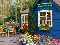 Pandemia a ofilit lalelele olandeze. Exporturile de flori, una dintre cele mai mari surse de bani la bugetul țării, s-au prăbușit