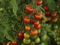 """Programul Tomata nu mai rodește. Fermierii primesc subvenții cu o treime mai mici, care abia acoperă cheltuielile: """"Nu mai cultivăm roșii pentru că muncim degeaba"""""""